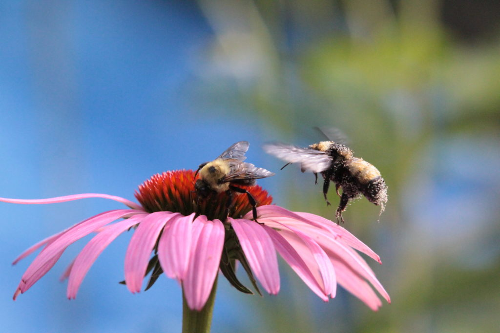Flying - As good as it gets Bee Pollen Flower In Focus (small)