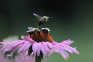 Flying Bee Out of Focus (small)