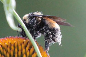 This Bee has some Pollen on it (zoomed)